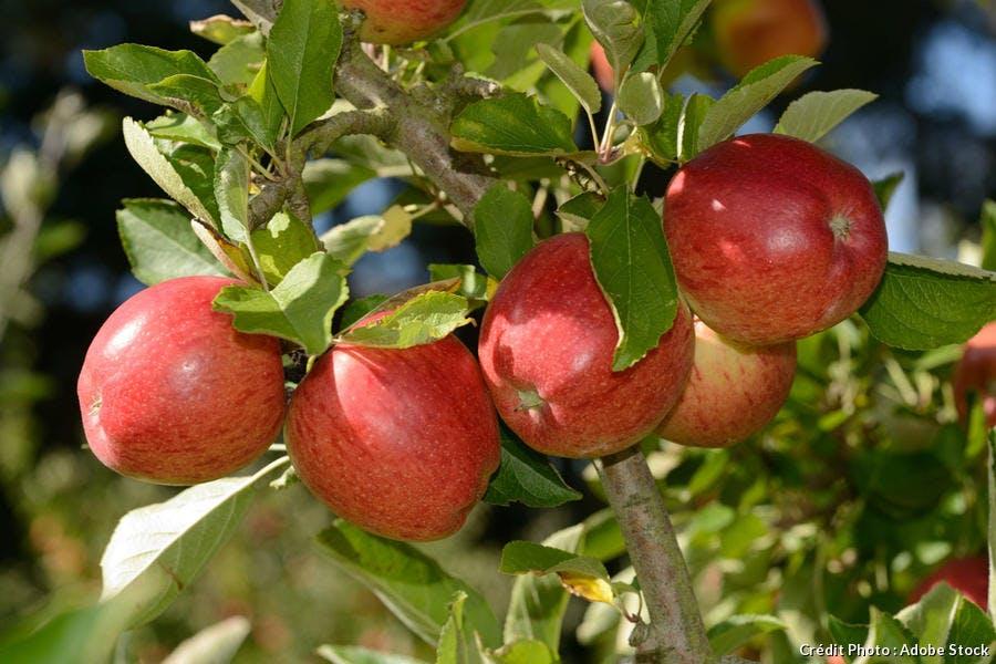 Pommes Braeburn