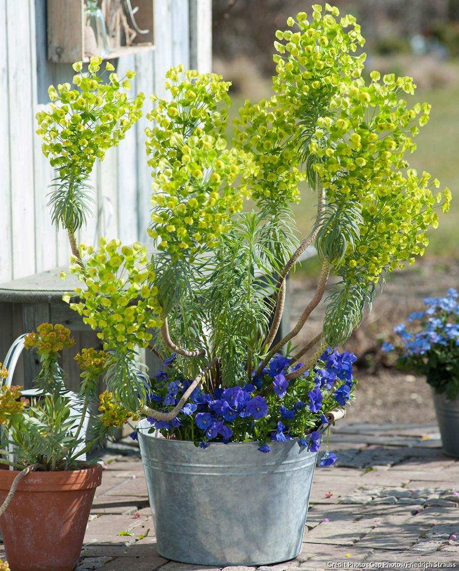 Potée avec Euphorbia characias