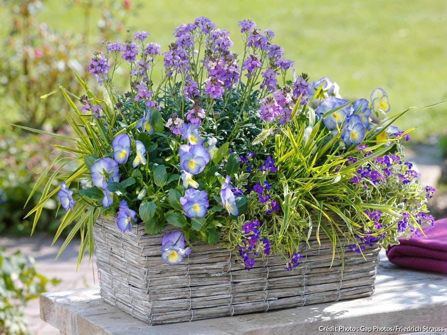 Composition florale pensées et aubriètes