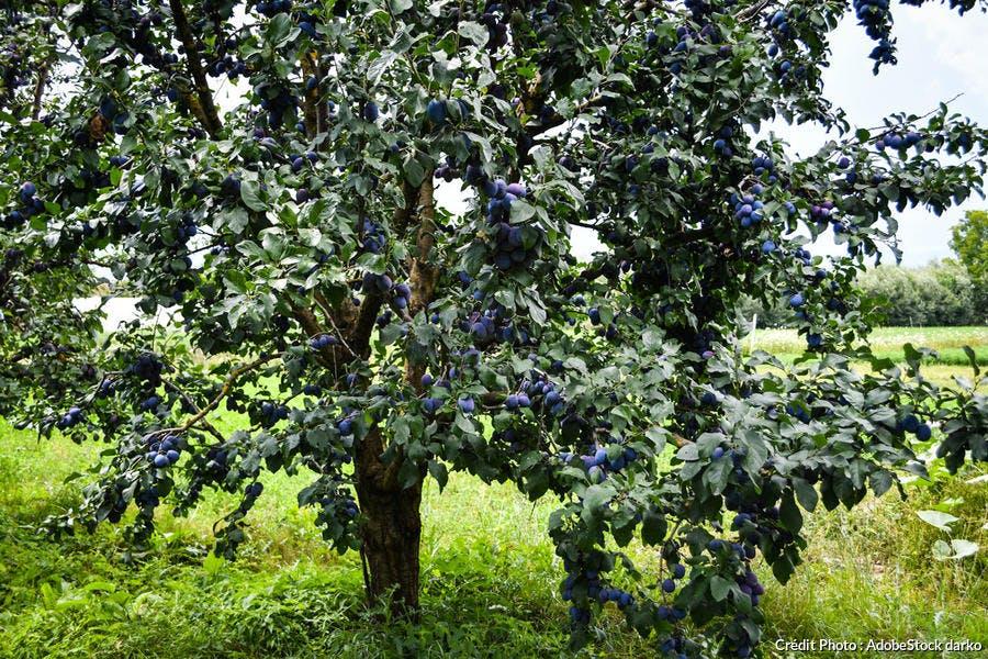Prunier avec prunes dans un jardin
