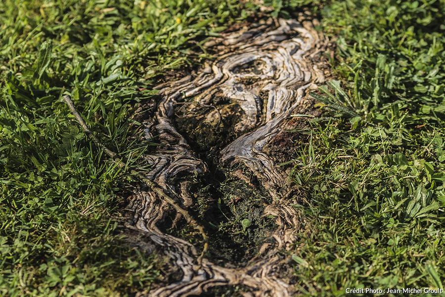 Racine d'arbre dans un gazon
