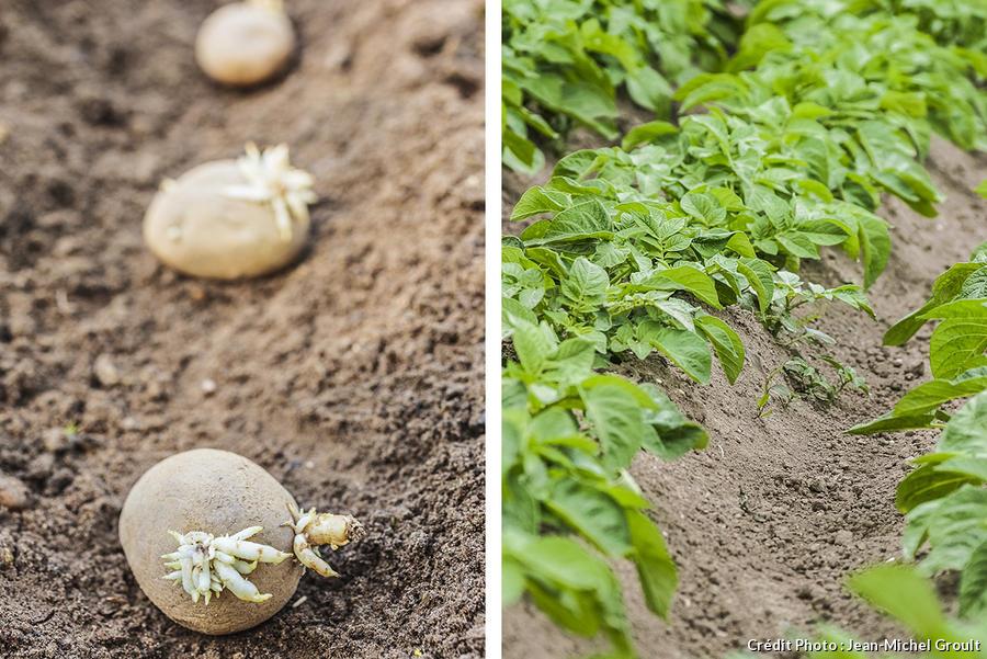 Pommes de terre avec germe plantées en rang