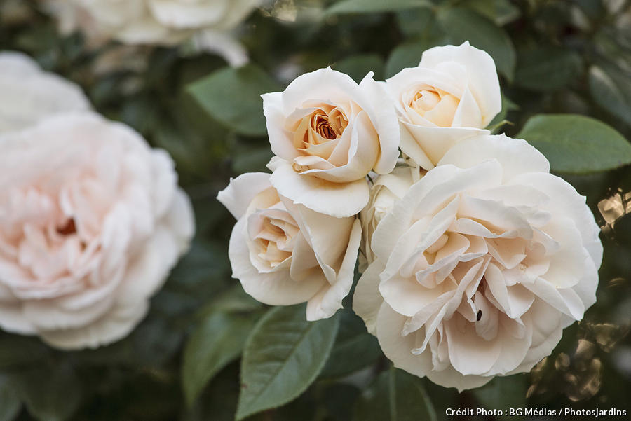 dja_rose-madame-alfred-carriere_bgm.jpg