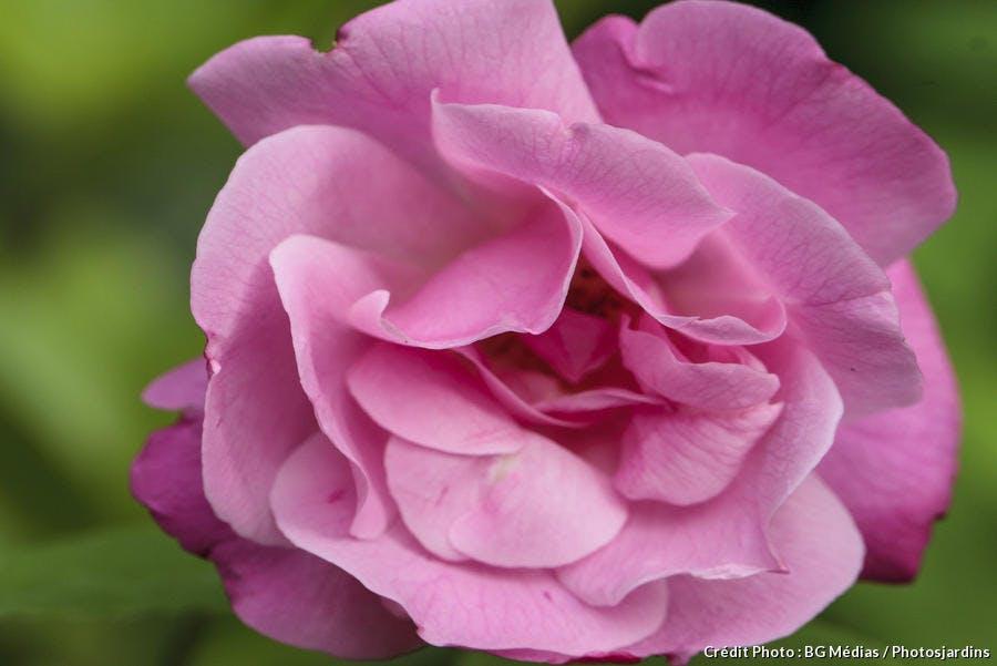 dja_rose-old-blush_bgm.jpg