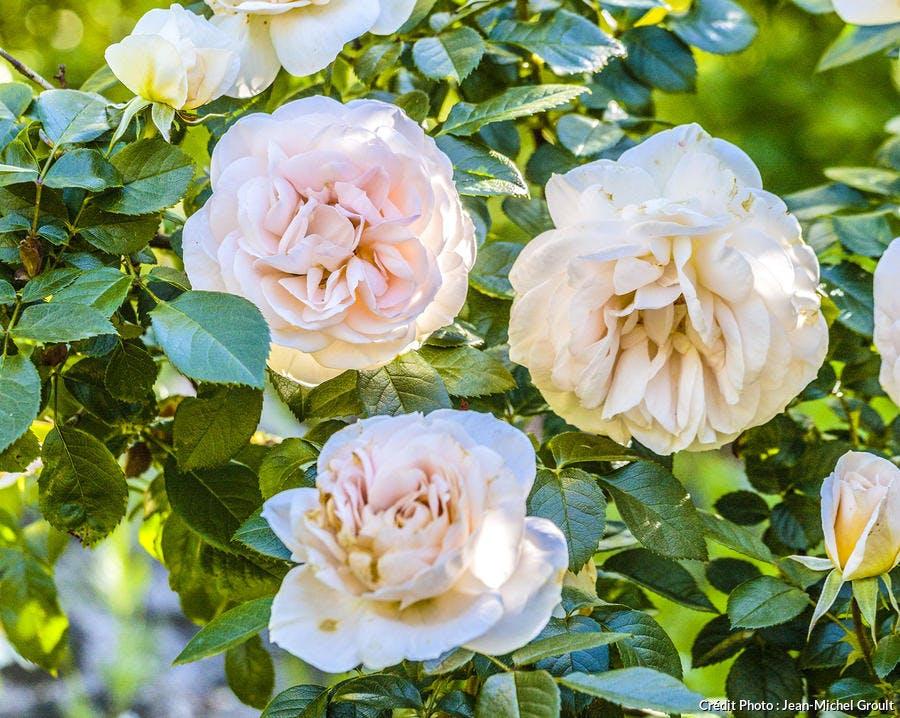 Rose 'Lion's Rose'