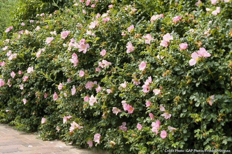 rosiers « botaniques »