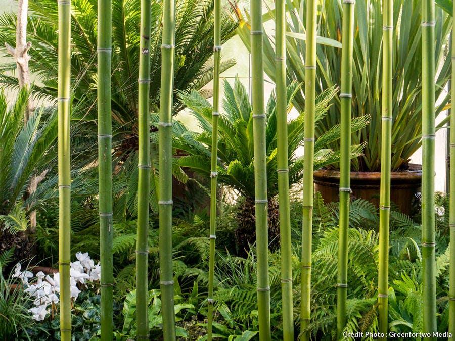 Bambous dans une serre à Chaumont-sur-Loire