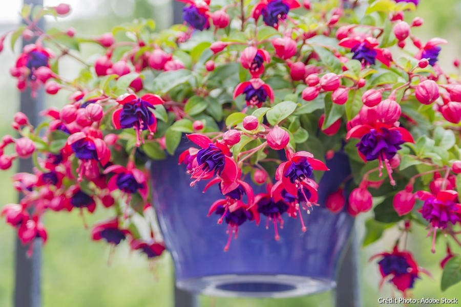 Suspension de fuchsias