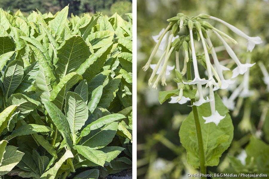 Plants de tabac