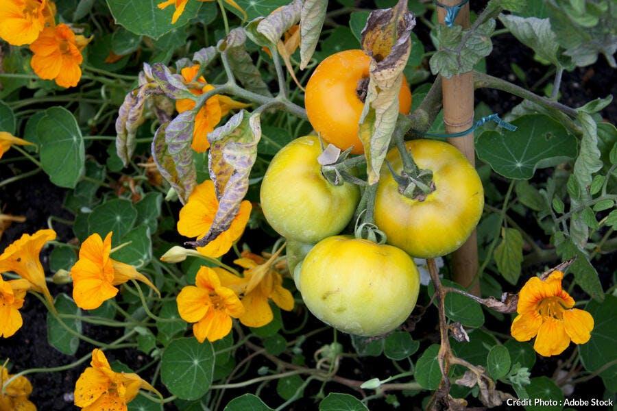 Tomate jaune Lemon Boy