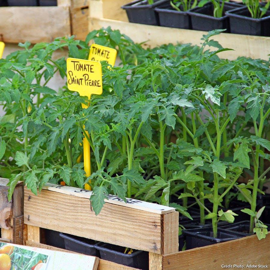 Plant de tomates Saint Pierre