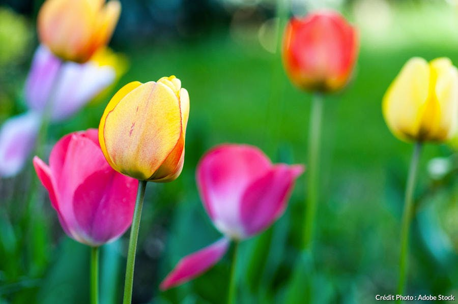 Tulipes multicolores