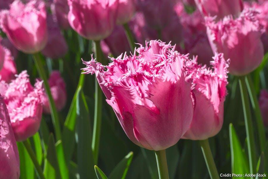 Tulipes perroquet roses
