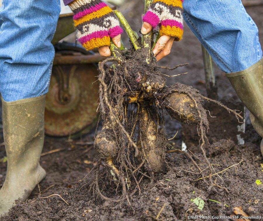 Arrachage des poires de terre