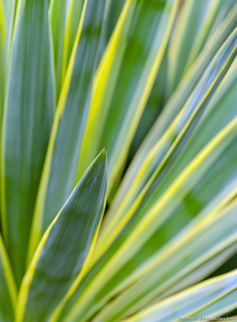 Yucca panaché