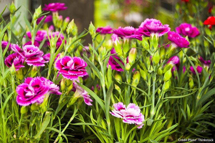 oeillets en fleurs