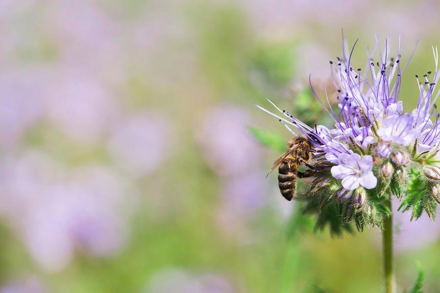 djweb_abeillessauvages_phacelie_0.jpg
