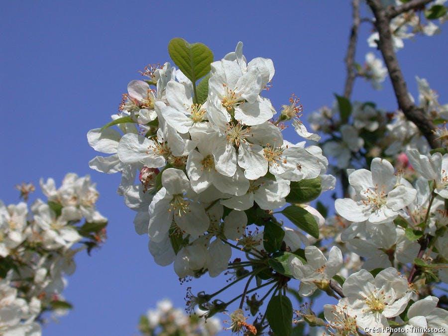 djweb_abricotier_fleurs.jpg