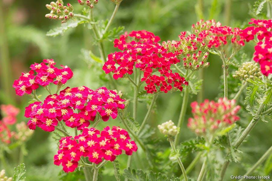 djweb_couleur_achillea-millefolium-pomenagrate-red-yarrow-istock-23163475.jpg