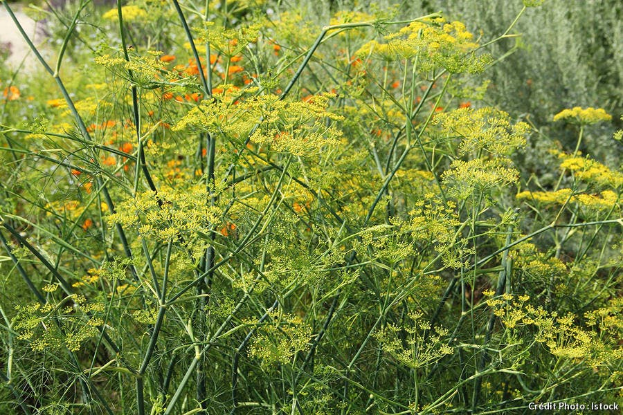 djweb_couleur_foeniculum-vulgare-fenouil-dans-jardin-d-herbes-aromatiques-istock-20011576.jpg