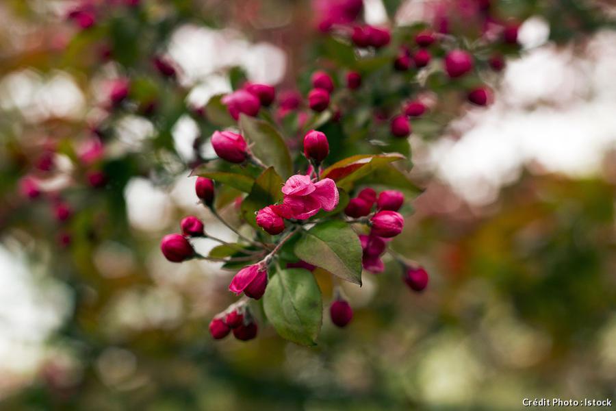 djweb_couleur_malus-royalty-flowering-branch-decorative-istock-94139063.jpg