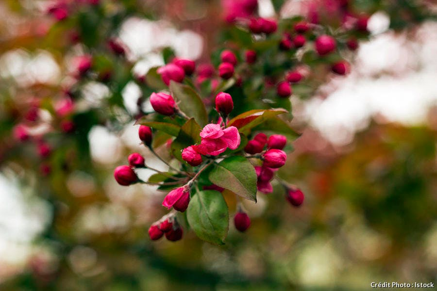 djweb_couleur_malus-royalty-flowering-branch-decorative-istock-94139063.jpg
