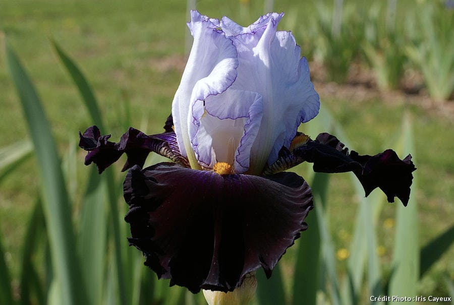 Iris Domino noir