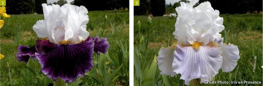 djweb_iris_iris_en_provence_2.jpg