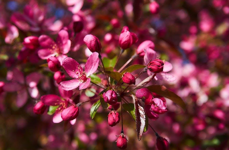 Malus fleurs roses