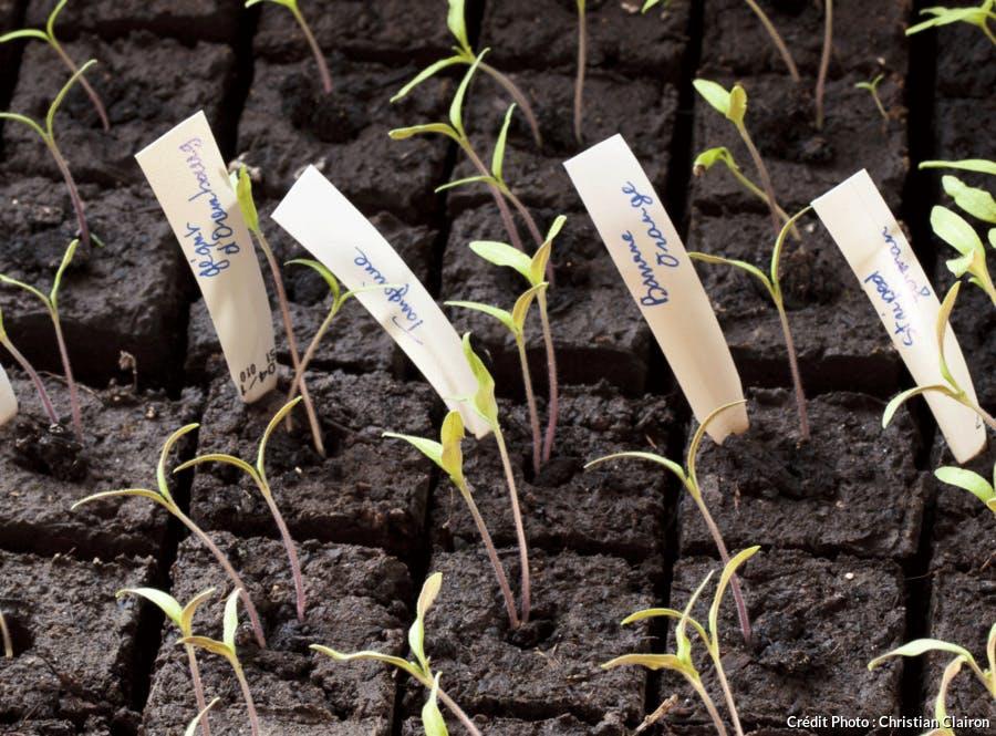Des plants de tomates