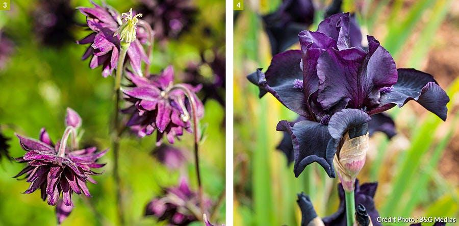 Ancolie et iris