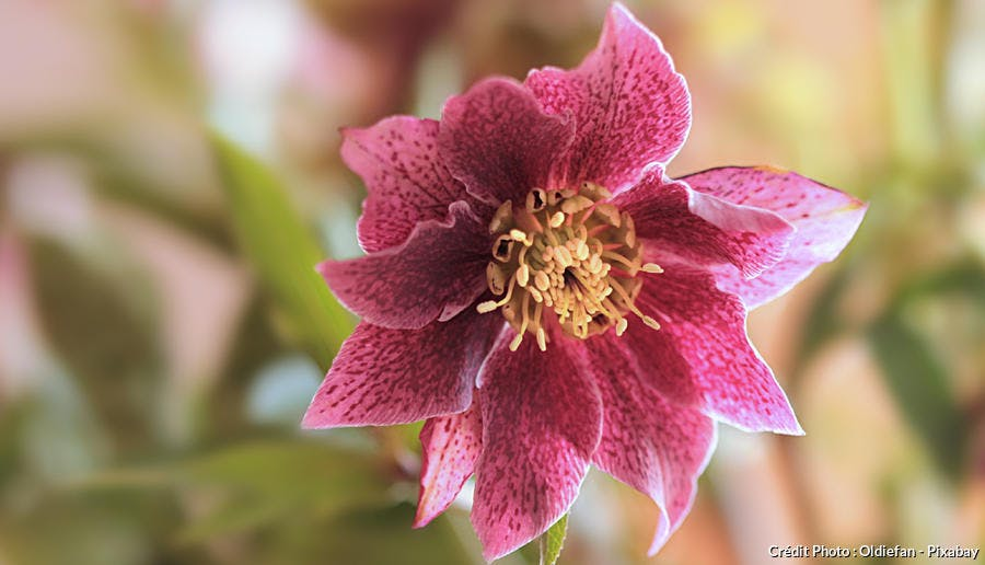 Hellébore rose double