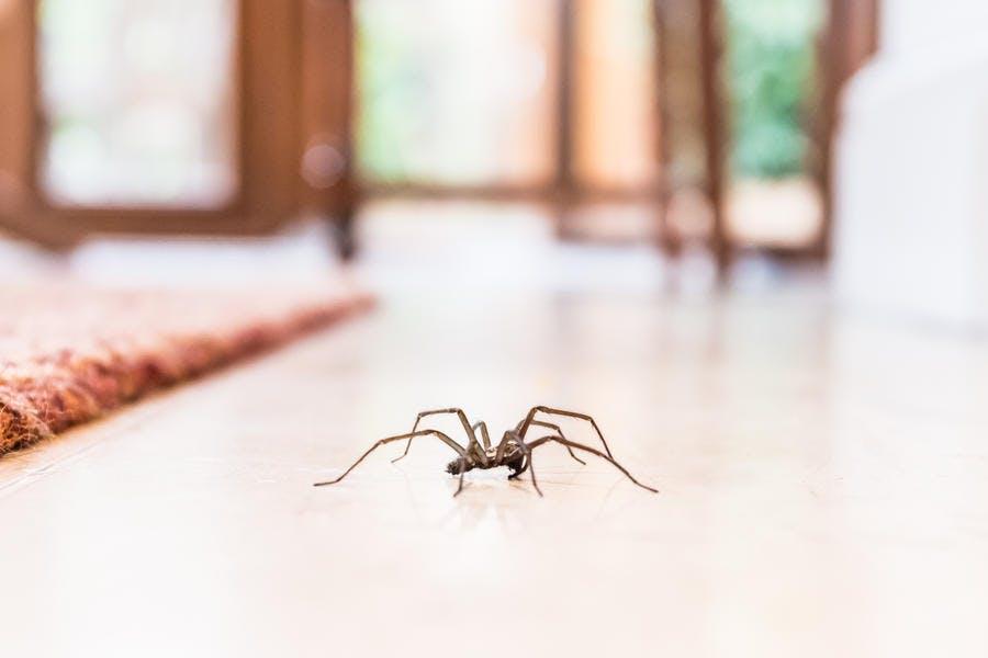 araignée dans la maison