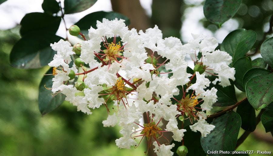 Lilas des indes blanc