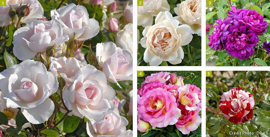 5 roses originales