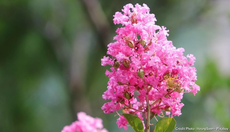 Fleur de Lilas des indes