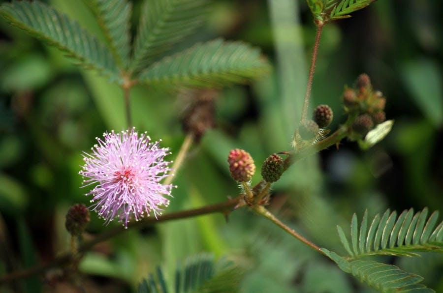 Mimosa pudica, plante tropicale