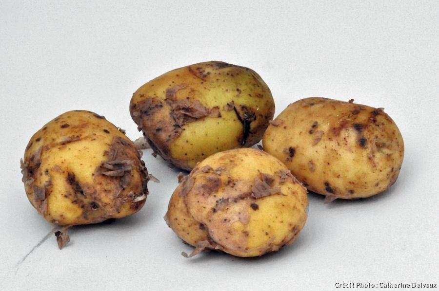 Pommes de terre 'Bonnotte de Noirmoutier'
