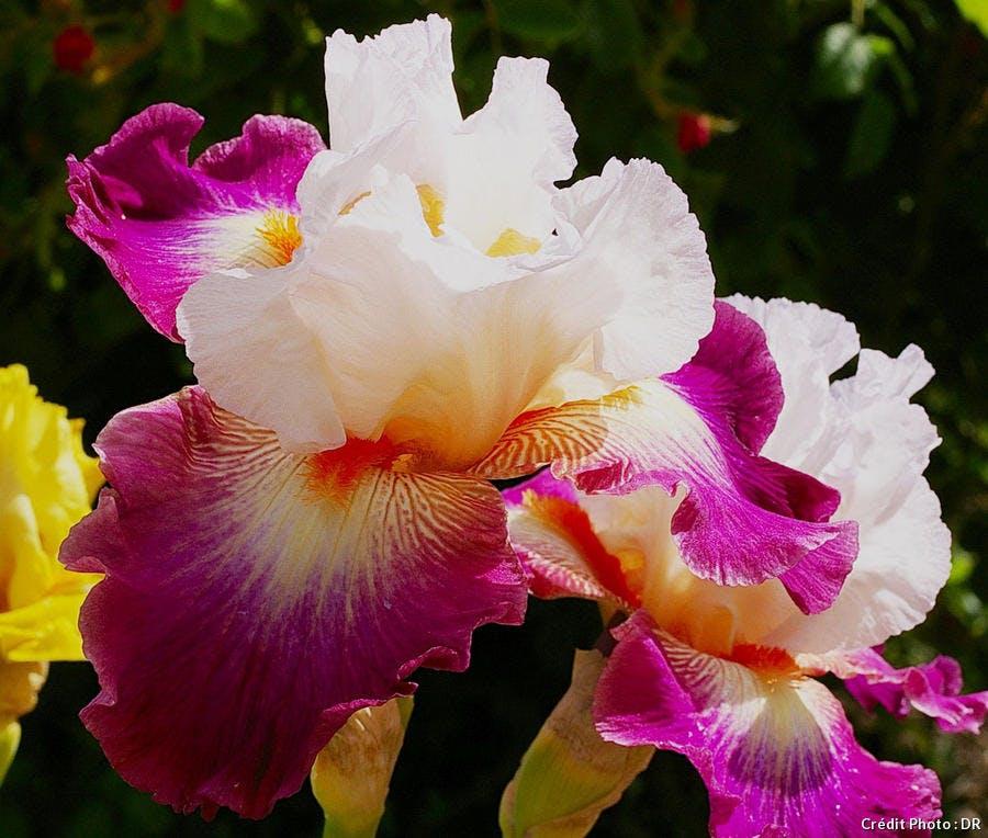 Iris Cayeux Poivre Rouge
