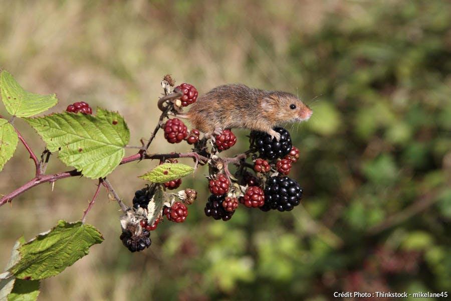 Le rat des moissons