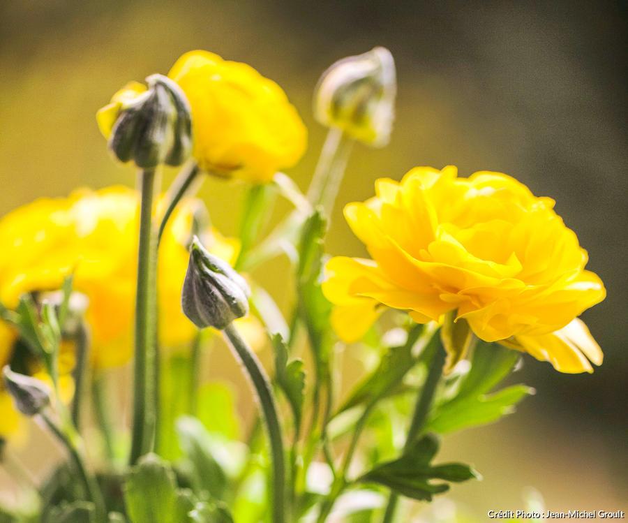 Renoncule jaune