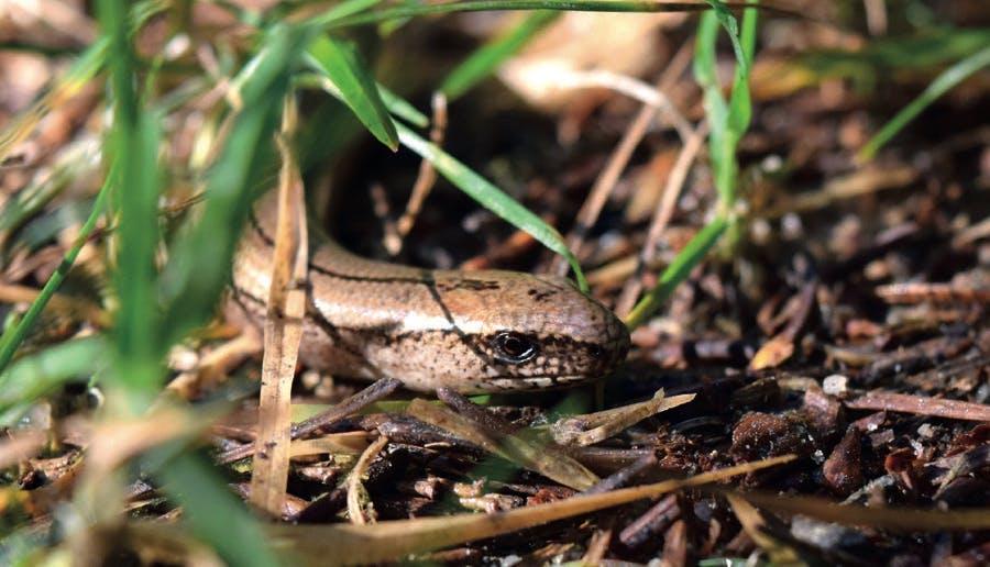 Le serpent de verre est un animal fouisseur