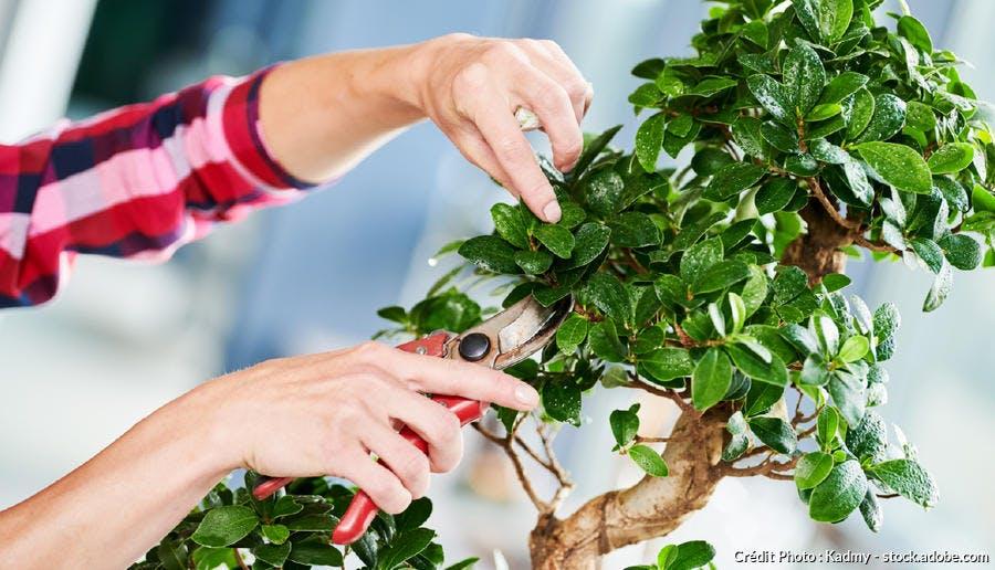 Taille d'un bonsaï