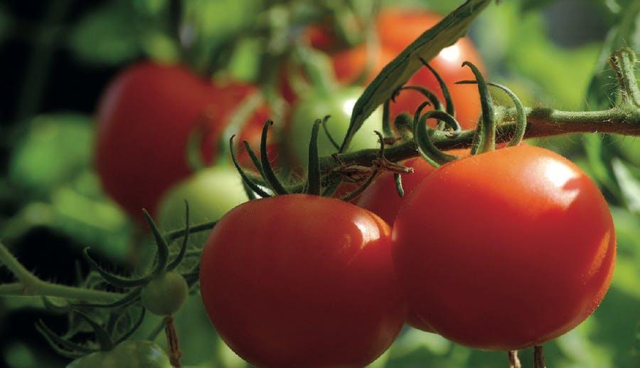 récolter les tomates mûres