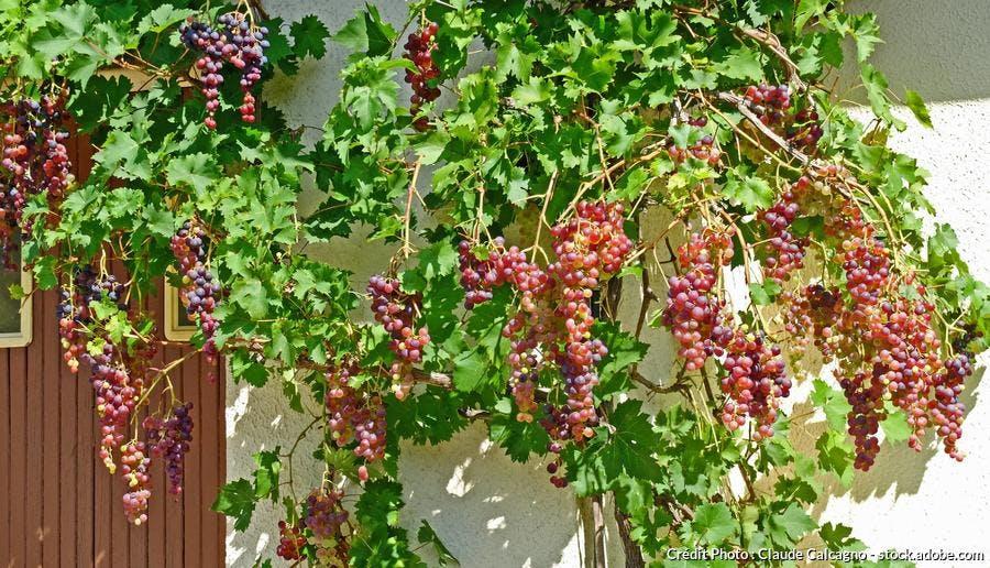 Treille mur vigne