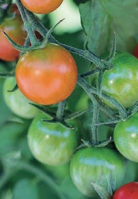 Comment faire mûrir des tomates ?