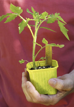 Godet avec plant de tomate