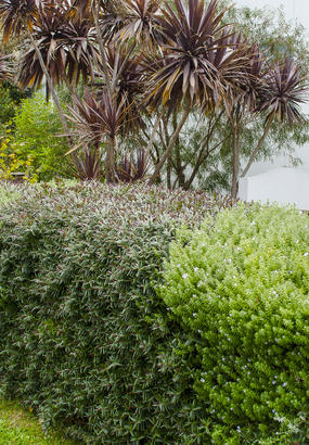 4 arbustes à feuillage persistant pour une haie belle toute l'année