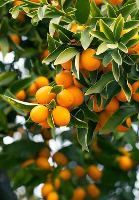 Le kumquat : fiche de culture