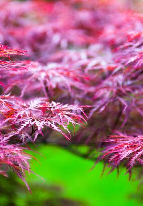 Acer palmatum rouge